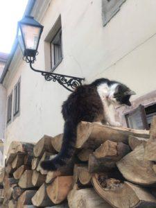 オシイェク 猫